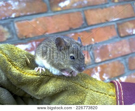 Mice In Hand. A Ordinary House Mice