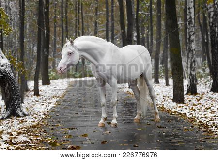 Portrait Of A White Horse Of Breed The Welsh Pony Without Bridle On Path In The Park In The Autumn W