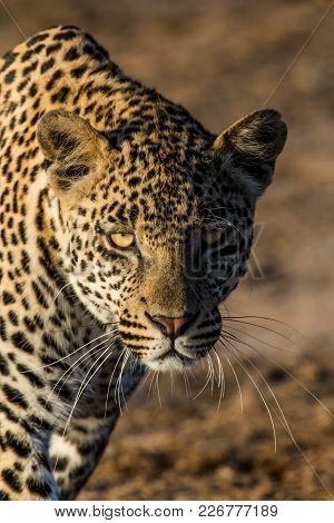 A Young Male Leopard Stalked Towards Us