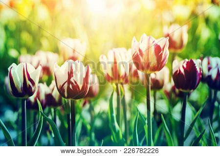 Beatiful Background Of Tulips Flower Background In Rim Light With Sunflare On The Foreground, Toned