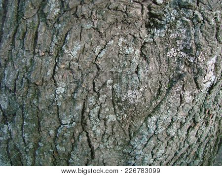 Bark Of An Old Tree, Close-up, Background For An Inscription, Texture