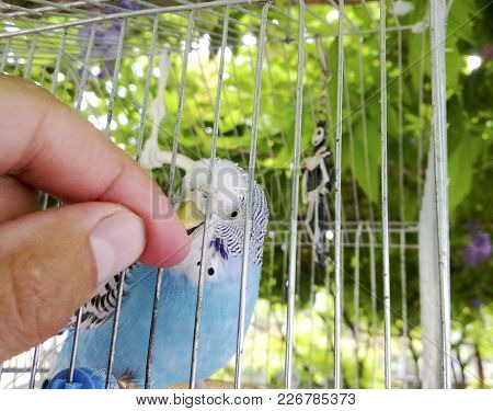 A Wavy Parrot In A Cage. Hand At The Parrot