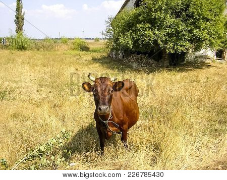 Brown Cow On The Pasture Brown Cow On The Pasture