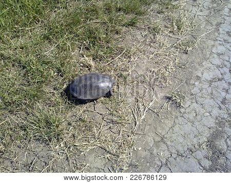 Ordinary River Turtle. Turtle In The Natural Habitat