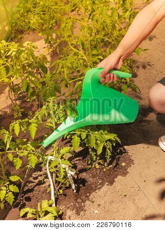 Gardening. Human Hahd Holding Green Water Can Watering Seedling Tomato Plants In Greenhouse