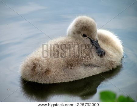 Young Swan On Water Surface. Cygnet Resting In A Pond. Cute Bird Baby, Nature Detail Foto