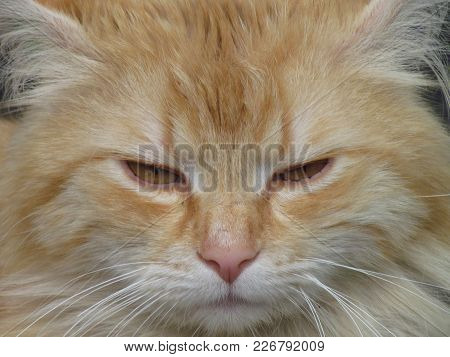 Cat Close Up Protrait. Beige Tomcat With Yellow Amber Eyes. Detail Of Cat Face. Domestic Animal Phot