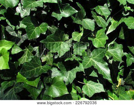 Natural Photo Texture. Closeup Of Ivy, Botanical Name Hedera, Climbing Evergreen Plant, Used As Medi