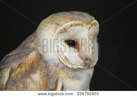 Photo Portrait Of A Beautiful Barn Owl