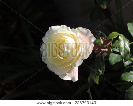 Cream Colored Rose In The Garden Against Dark Background