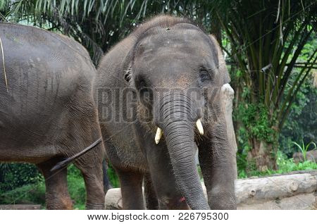Young Sumatra Elephant Playing With His Brothers