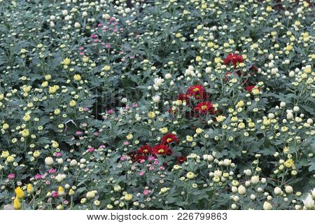 Multiple Color Chrysanthemum Buds &flower In The Garden  In Evening