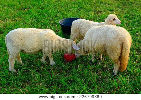 Three Standing Sheep In The Fresh Meadow Licking Salt