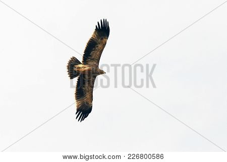 Beautiful Flight Of A Hawk In The Sky, Hawk In Isolated White Background