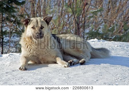Portrait Of A Dog Mongrel With Fluffy Fur Lying On The Snow In The Winter In The Forest
