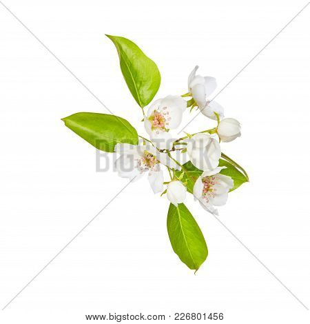 Leaf. Flowers Of Apple. Green. Spring. Isolated On White Background. For Your Design.