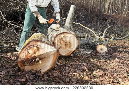 Lumberjack Using Chainsaw Cutting Big Tree During The Autumn