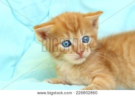 Cropped Shot Of Cute Red Kitten.cropped Shot Of Cute Red Little Kitten With Blue Eyes. Cat.kitten, C
