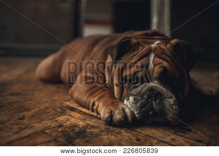 Dog Breed English Bulldog Lies And Relaxes On Old Parquet Floor. Closeup.