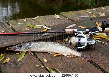 Freshwater Pike And Fishing Equipment Lies On Wooden Background With Yellow Leaves..