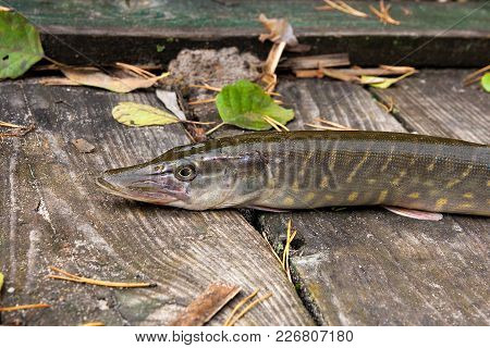 Freshwater Pike On Wooden Background With Yellow Leaves.