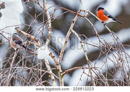 Pair Of Bullfinches On The Birch Tree Branch At Winter Day Time