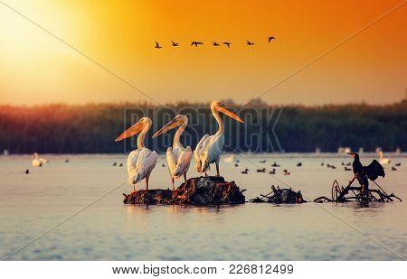 Pelican Colony In Danube Delta Romania. The Danube Delta Is Home To The Largest Colony Of Pelicans O