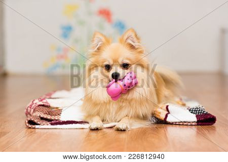 A Dog Of The German Spitz Breed Lies On A Blanket With A Toy In The Teeth