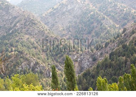 Coniferous Trees On The Mountain Slopes . In The Park In Nature