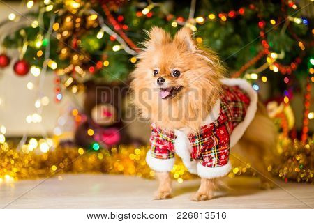 A Dog Of The Spitz Breed Of Red Color In A Gnome Costume Near A Christmas Tree