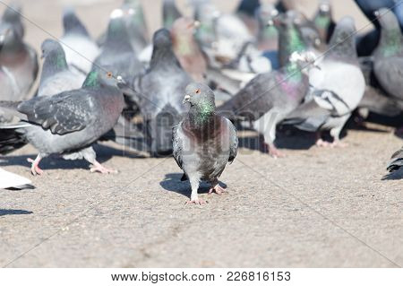 A Flock Of Pigeons In The City .