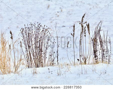 Dried Brown Plants Of The Prairie Show In Sillhouette Against The Fresh White Snow.