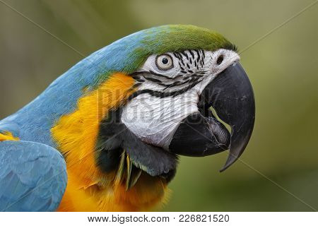 Closeup Of Captive Blue And Gold Macaw