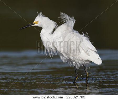 Snowy Egret In Breeding Plumage - Pinellas County, Florida