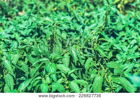 Urtica Silica. Nettle Green Background. Summer Plants