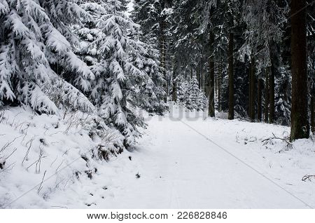 Winter Forest Landscape In Early Winter Morning- Deciduous Frosty Tree Under Winter Snowfall. Nature