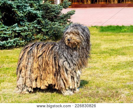 Bergamasco Shepherd Looks Aside. The Bergamasco Shepherd Stands On The Green Grass In The Park.