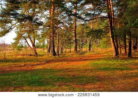 Bright Morning In A Pine Forest In Autumn. In The Foreground Is A Lawn With Green Grass And Lots Of