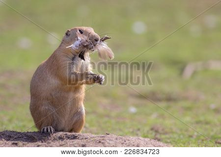 Chicken Dinner. Funny Animal Image Of A Cute Marmot Prairie Dog Stuffed With Feathers. Greedy Rodent