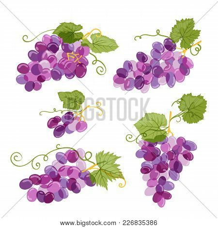 Set Of Vector Grapes Vine Illustration Isolated On White Background. Fresh Hand Drawn Grape With Gre