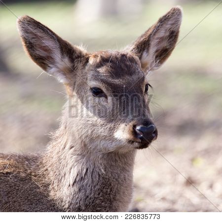 Portrait Of A Young Female Deer . In The Park In Nature