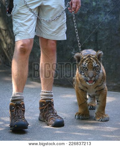 A Baby Tiger Going For A Walk With His Handler