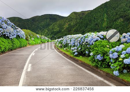Hortensias on the road in the volcanic crater lake of Sete Citades in Sao Miguel Island of Azores Portugal