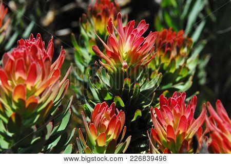 Many Protea Fynbos that thrive in the Southern part of South Africa grown no place else on Earth.  This bunch is a beautiful example.