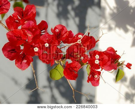Red Bougainvillea Flowers On Sun And Shade Background