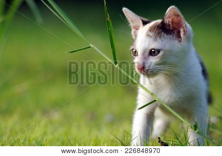 Cat Watch Attentively On Green Grass Field. Cat Is A Small, Typically Furry, Carnivorous Mammal.