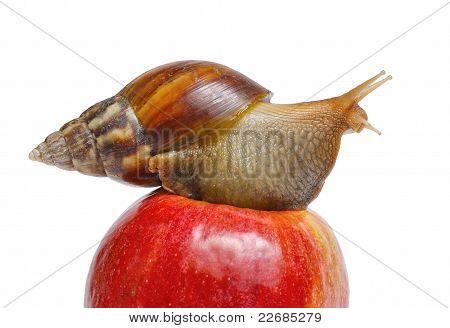 Caracol en manzana roja