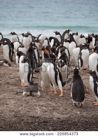 A Pair Of Gentoo Penguins Vocalizing, A Baby Penguin On Its Belly And Other Gentoos Preening On The