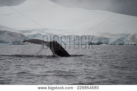Water Pouring Off Humpback Tail