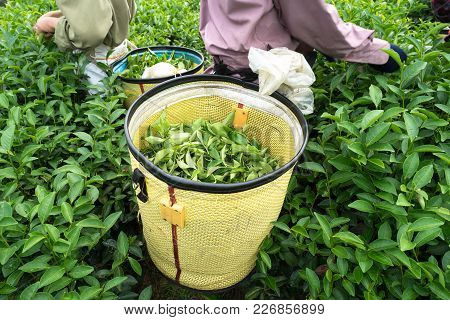 Fresh Green Tea Leaves In Bamboo Basket At Tea Plantation In Vietnam